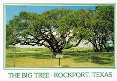 Postcards | The Big Tree, Rockport, Texas