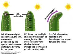 PHOTOTROPISM IN PLANTS - #Higher #Biology Revision
