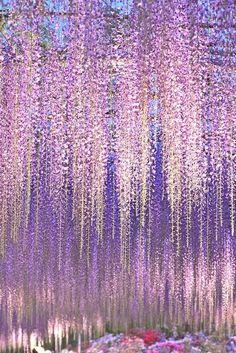 Wisteria, lavender rain...