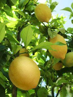 Lemon tree- outside kitchen
