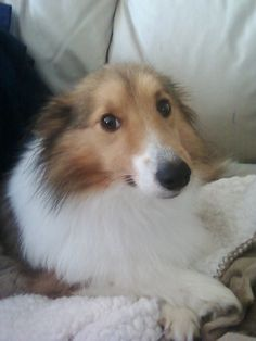 Sheltie Nation - Where are your ears little one?