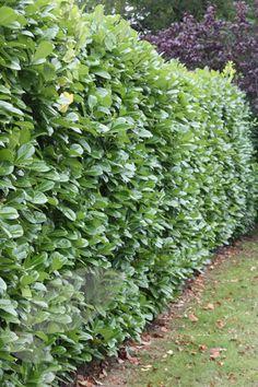 Laurel Prunus laurocerasus 'Rotundifolia'