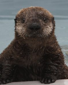 This sea otter pup was rescued at California's Central Coast. Now he lives in Monterey Bay Aquarium.