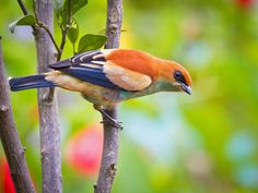 Foto saíra-preciosa (Tangara preciosa) por Sergio Gregorio | Wiki Aves - A Enciclopédia das Aves do Brasil