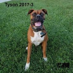 "Tyson 2017-3: ""I'm spending the rest of my days with my forever family! Thanks, NWBR!"""