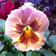 Pretty-faced pansy
