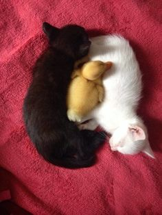 Love Cute Animals shares pics of playful animals, cute baby animals, dogs that stay cute, cute cats and kittens and funny animal images. Cute Baby Animals, Animals And Pets, Funny Animals, Wild Animals, Nature Animals, Cute Kittens, Cats And Kittens, I Love Cats, Crazy Cats