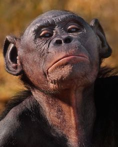 thephotosociety: Photo by //Bonobos are our closest relatives on the great tree of life, along with . Congo, Ape Monkey, Female Names, World Photo, Image Shows, Tree Of Life, Big Cats, Mammals, Lions
