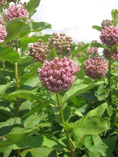 How to propagate and grow common milkweed seeds. Milkweed is a favorite plant for Monarch Butterflies, but it is a weed so be careful not to let it spread to places you don't want it! Swamp Milkweed, Milkweed Plant, Icon Set, Butterfly Garden Plants, Lush, Meadow Garden, Hummingbird Garden, Monarch Butterfly, Butterfly Bush