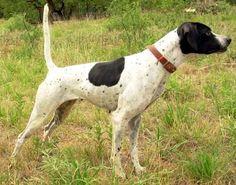 english pointer dog photo | ... Sharper Image - English Pointer Pedigrees - Bird Dog Pedigrees