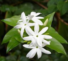 Hawaiian pikake--used in the Hawaiian lei, source of floral flavoring in jasmine tea and many perfumes. Wonderful fragrance...