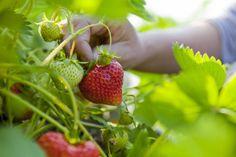 Astuces pour de belles fraises au jardin Hardy Plants, Gardening, Edible Garden, Natural World, Grow Strawberries, Perennials, Garden Design, Strawberry, Modern Design