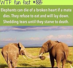 Elephants have more loyalty, kindness, love and dignity than credited for. They are super intelligent and feel deeply and care for their families. Wierd Facts, Wow Facts, Wtf Fun Facts, Crazy Facts, Amazing Facts, Elephant Facts, Elephant Love, Animal Facts, Animal Memes