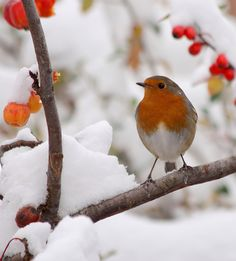This is winter to me! A beautiful robin on a snowy branch. Photo by mr-quad =)