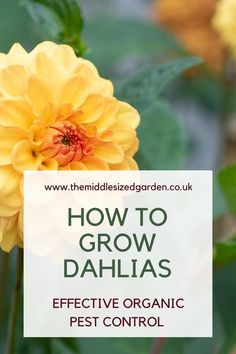 How to grow a successful dahlia flower garden organically without using chemicals. #middlesizedgarden Growing Dahlias, Growing Plants, Grasses For Pots, Dahlia Flower, Flowers, Low Maintenance Garden Design, Earwigs, Garden Privacy, Going Natural