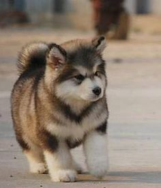 Aww! What a Cutie! ~ LOOKS LIKE A BEAUTIFUL ALASKAN MALAMUTE PUP - THE MARKINGS, SIZE OF LEGS & FEET, THE MASK - THIS LITTLE ON WILL BE A MAGNIFICENT ADULT ~