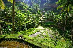 Рисовые террасы Убуд (Бали, Индонезия)