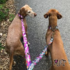 💕 I was told our leashes make people happy 😃 What do you think? #behappy #vizslasisters #sugarface #dogleashes #gangstamutt #bff #gijane Gi Jane, Unique Dog Collars, Vizsla, Bff, Hair Styles, Happy, Face, Dogs, People