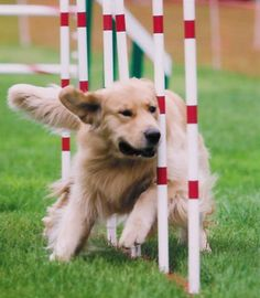 agility weave poles Taught fig this up the village next to the motorbike shop as a joke to weave through the metal posts in ground now she does it every time so funny :D