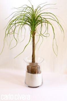 Pianta mangiafumo in vaso di vetro e sabbia di silicio. carlocivera.org #piantamangiafumo #composizione