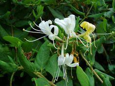 Madreselva  Lonicera Edible flowers