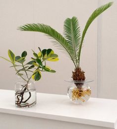 Bring the pond into the room? Yes it works with these aquatic plants! Bring the pond into the room? Yes it works with these aquatic plants! Hydroponic Farming, Hydroponic Gardening, Hydroponics, Organic Gardening, Urban Gardening, Water Plants Indoor, Aquatic Plants, Plant In Water, Diy Hydroponik