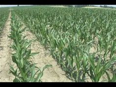 How Corn Grows - YouTube