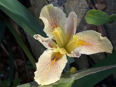 New La. iris