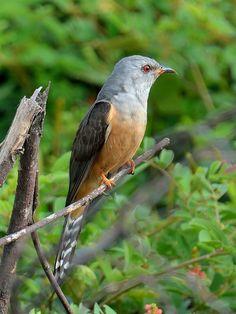 Plaintive Cuckoo (Cacomantis merulinus) - male   Flickr - @ Zakir Hassan