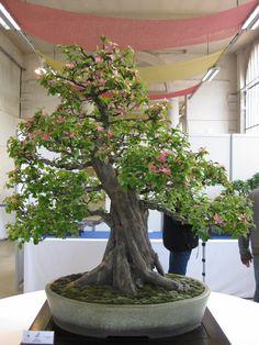 Bonsaï : Cognassier du Japon ( chaenomeles speciosa)