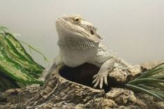 Planning on getting a bearded dragon? Keep track of everything you need with this bearded dragon supplies list from ReptiFiles. Bearded Dragon Funny, Bearded Dragon Habitat, Bearded Dragon Diet, Reptile Cage, Reptile Enclosure, Bearded Dragon Supplies, Bearded Dragon Substrate, Bearded Dragon Lighting, Amigurumi