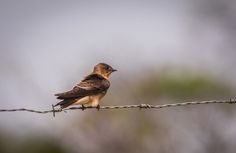 andorinha serradora Southern Rough winged Swallow (Stelgidopteryx ruficollis) by Marcelo Müller / 500px