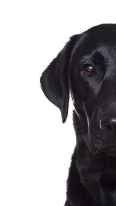 Mind Blowing Facts About Labrador Retrievers And Ideas. Amazing Facts About Labrador Retrievers And Ideas. Black Lab Puppies, Dogs And Puppies, Doggies, Black Puppy, I Love Dogs, Cute Dogs, Labrador Retriever Dog, Labrador Puppies, Corgi Puppies