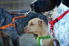 If you have a nervous dog, blind dog, deaf dog or a dog with other special requirements, you will find the perfect color coded dog harness here. Love My Dog, Dog Harness, Dog Leash, Deaf Dog, Unique Animals, Dog Photography, Pet Gifts, Dog Accessories, Dog Owners