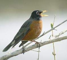 The familiar adult American robin is 9 to 11 inches long, with a gray back and brick-red breast. Males have a black head and tail, while females, which are generally paler in color overall, have a gray head and tail. The song is the first heard in the morning and the last in the evening; it has a joyous liquid quality.