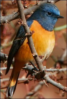 Blue-fronted Redstart Phoenicurus Frontalis