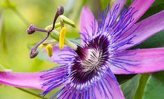 E' così chiamata comunemente la Passiflora caerulea, originaria del Brasile frequentemente coltivata da noi, pianta perenne rampicante con foglie