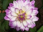 Dahlias - Select a sunny (minimum of 6 hours) location protected from strong winds