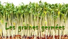 germe de lentille verte - Recherche Google