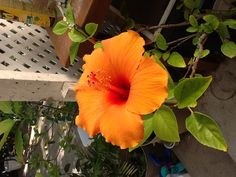 Hibiscus. Love the color!!!