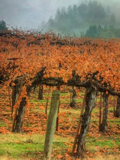 Like the fall colors and the misty evergreens in the background  Autumn Misty Morning Vineyard, Napa