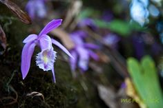 #orchid #nepal