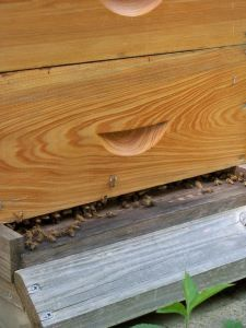 Did you know that you can learn a lot about the condition of your beehives simply by watching the entrance of the hive