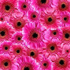 花, 植物, 自然, ガーベラ, ピンク, グラフィック