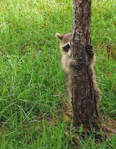 The candid life of a raccoon in 26 pictures Zoo Animals, Cute Baby Animals, Animals And Pets, Funny Animals, Strange Animals, Beautiful Creatures, Animals Beautiful, Pet Raccoon, Rocky Raccoon