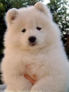 This little Samoyed looks more like a Polar Bear. #puppied