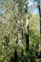 Mountain ash (eucalyptus regnans) - the second tallest tree in the world