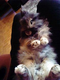 Lionhead bunny.