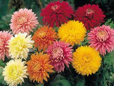Descubre consejos básicos y cuidados de una de las flores más espectaculares. ¿Te gustan los crisantemos?