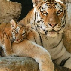 Beautiful a tiger and her cub Photography by unknown please DM for credit #Wildgeography